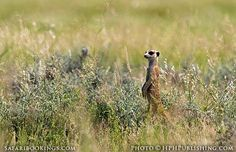#Meerkat ( #Mabuasehube area, Botswana side) @ Kgalagadi Transfrontier Park in #SouthAfrica. See our #Kgalagadi travel guide: http://www.safaribookings.com/kgalagadi