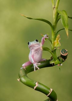 WhitesTree Frog by Robert Hook on 500px