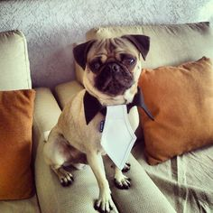 Fausto the pug gettin' ready for new year's dinner