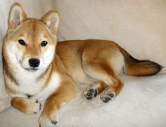 one day I'll have this breed of dog <3 I love the Shiba Inu! So small & cute!
