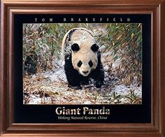 Giant Panda in the Snow Bamboo Wildlife Home Decor Mahoga... https://www.amazon.com/dp/B01JYSRE3E/ref=cm_sw_r_pi_dp_x_zNaTybQG0AAHH
