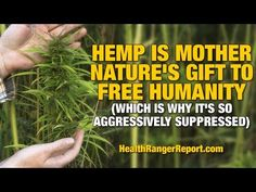 Hemp is Mother Nature's gift to free humanity (which is why it's so aggressively suppressed) | Urban Homestead Honey | I have not had a chance to watch this video all the way through, however, I do believe that that the mega healthcare and pharmaceutical industries are doing everything they can to suppress medical marijuana. Click to watch and share video (33:50).