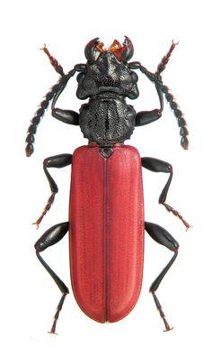 Cucujus haematodes opacus CUCUJAIDAE