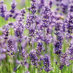 """Sorte Ein Hauch von Provence – weite, sinnlich-duftende Lavendelfelder, die sich in einem bezaubernden Violett über das Land ergießen, wecken Urlaubsgefühle. Die ursprüngliche Heimat des Lavendel ist der Mittelmeerraum, in welchem er auf felsigen und trockenen Regionen gedeiht. Sein Name leitet sich etymologisch von """"lavare"""" bzw. """"Waschen"""" ab und geht auf die Römer zurück, welche Lavendel bereits in ihre Körperpflege integrierten. Lavendel ist reich an wertvollen ätherischen Ölen, Saponinen… Lavendar Oil, Young Living Lavender, Growing Lavender, Parts Of A Plant, Lavandula Angustifolia, Therapeutic Grade Essential Oils, Best Oils, Floral, Plants"""