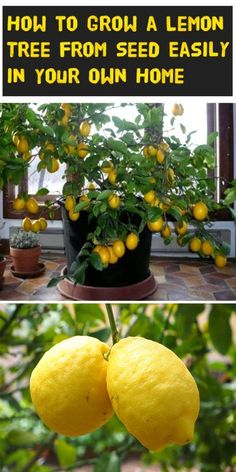 Learn how to properly plant and care for you lemon tree! diy garden plants How to Grow a Lemon Tree from Seed Easily in Your Own Home