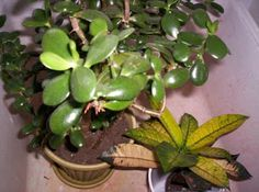 Jade Plant Care - Houseplant Care Tips