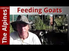 How to Feed Branches as a snack to the Alpine Goats