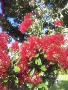 December 2013 - very heartening to see many busy bees collecting pollen from the pohutukawa flowers. Summer Catch, Seaside Village, December 2013, Bees, Island, Flowers, Plants, Honey Bees, Block Island
