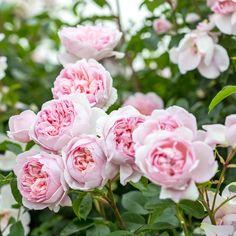 Amazing Flowers, Beautiful Roses, Rose Hedge, Rose Foto, Shrub Roses, Fragrant Roses, Rose Care, Rose Trees, Types Of Roses