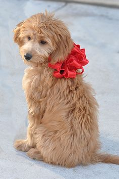 I am officially crazy about these doggies; the gorgeous goldendoodle!