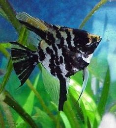 Angelfish - Black Marble - Small Got myself an Angelfish like this, he shares a tank with another gold angelfish and six guppies. My angelfishes are still babies ; Tropical Freshwater Fish, Freshwater Aquarium Fish, Tropical Fish, Fish Aquariums, Orcas, Discus Fish For Sale, All Fish, Underwater Creatures, Beautiful Fish