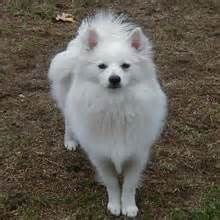 The American Eskimo Dog (affectionately called 'Eskie' or by the German name 'spitz') actually descends from several German breeds like the Pomeranian and Keeshond.