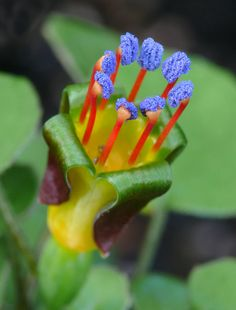 Fuchsia Procumbens ~ Creeping Rainbow Fuchsia ~ Climbing Flowers ~ 7 Rare Seeds - Another! Strange Flowers, Unusual Flowers, Unusual Plants, Rare Flowers, Rare Plants, Exotic Plants, Cool Plants, Amazing Flowers, Beautiful Flowers