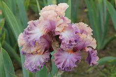 So damn ruffly. Reminds me of my beloved Chasing Rainbows. Photo of Tall Bearded Iris (Iris 'Photogenic') uploaded by ARUBA1334