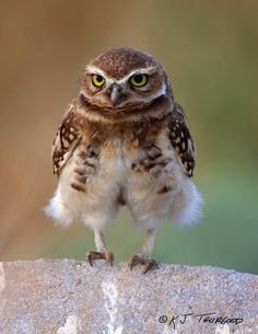 Like My Pants? Burrowing Owl by KJ Thurgood from my husband's nature photography site