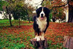 Explorer boy!  #dog #dogs #dogsofpinterest #cachorro #cachorros #cute #petluni #pets #pet #fluffy #dogofpinterest #woof #auau #bernese #bernesedog #big dog #bernesemountaindog #wood #florest #explorer *autor da foto desconhecido* Bernese Dog, Pet Shop Online, Boy Dog, Border Collies, Bald Eagle, Big, Wood, Animals, Diy Dog