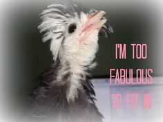 I'm too fabulous to fit in!  #chickens #poultry #diva