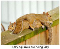 Funny Lazy Squirrels,  WTH???