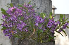 Grupo Orquideófilo del Norte Santafesino: Dendrobium nobile Dendrobium Nobile, Box Houses, Dresden, Cactus, Gardens, Gardening, Garden, World, Home