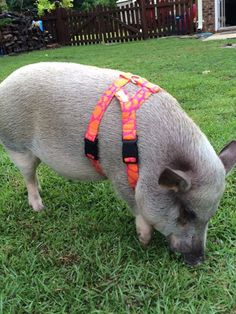 Home - American Mini Pig Association Guinea Pig Care, Guinea Pigs, Cute Baby Pigs, Pig Showing, Miniature Pigs, Small Pigs, Teacup Pigs, Show Cattle, Showing Livestock
