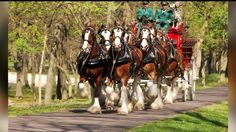 YORK, YORK COUNTY, Pa.-- The Budweiser Clydesdales are stopping for a week at Brewery Products during their tour across the country.  The Clydesdales will make numerous appearances across FOX43 News and will be available to the public at certain times during the week.  Here is the tentative schedule (subject to change due to weather) for the Clydesdales next week: