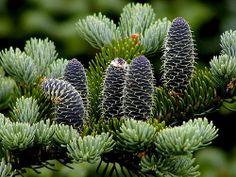Goldilocks Japanese White Pine 2m High Wide Long Blue