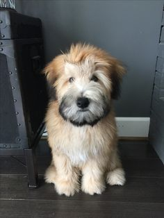My Fozzie Bear.soft coated wheaten terrier - My Fozzie Bear…soft coated wheaten terrier My Fozzie Bear…soft coated wheaten terrier - Cute Dogs And Puppies, I Love Dogs, Doggies, Chihuahua Dogs, Beautiful Dogs, Animals Beautiful, Pitbull Terrier, Wheaten Terrier Puppy, Terrier Mix