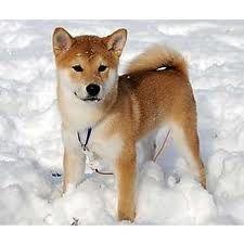 shiba inu puppies - Google Search Beautiful Dogs, Animals Beautiful, Cute Animals, Animals Dog, Shibu Inu, Chien Shiba Inu, Akita Inu Puppy, Shiba Puppy, Unique Dog Breeds