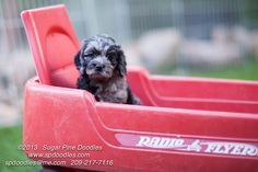 #BlueMerleLabradoodle #AustralianLabradoodle #Sugarpinedoodles #redwagon #puppy Puppies Available and Ready for Adoption | Sugar Pine Doodles