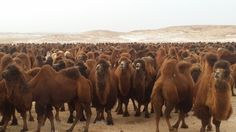 One thousand camels  In gobi Mongolia