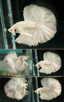 betta fish crowntail vs halfmoon - Google Search