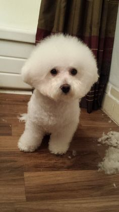 How to groom your bichon.