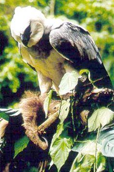 Harpy with sloth Harpy Eagle, Bald Eagle, Three Toed Sloth, Apex Predator, Birds Of Prey, Raptors, Flocking, Eagles, Mammals