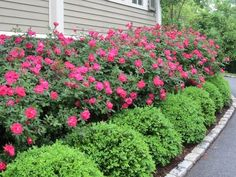 landscaping with boxwoods and roses | Knockout Roses with Boxwood Hedge:  #farmhouselandscaping