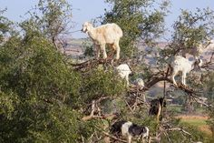 goats-argan-trees-2