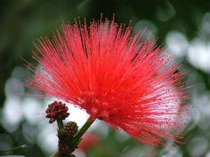 Flor do cerrado brasileiro
