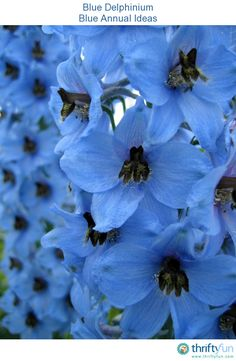 This is a guide about blue annuals. There are some wonderful choices available for designing a blue flower garden. Blue And Purple Flowers, Beautiful Flowers, Colorful Flowers, Blue Garden, Dream Garden, Blue Delphinium, Delphiniums, Types Of Blue, Flower Garden Design