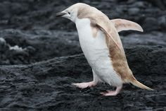 Rare white Chinstrap penguin spotted in Antartica Monday Feb 6, 2012