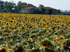 Sunflower field in Arles, France
