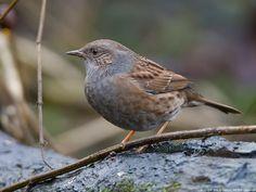 Dunnock (House sparrow) - nesting in the garden, May'15