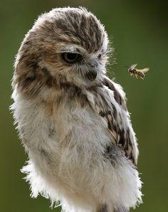 Owl & Bee