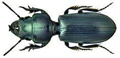 Family Carabidae Size: 35 mm Location: Namibia, Omaruru, 1200 m leg U.Schmidt, 1994, det. P.Bulirsch, 2010 Photo: U.Schmidt, 2011