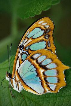 Schmetterling – Monteverde, Costa Rica – Margaret Carroll Boardman – Join in the world Butterfly Pictures, Butterfly Flowers, Butterfly Wings, Butterfly Dragon, Monarch Butterfly, Monteverde, Beautiful Creatures, Animals Beautiful, Cute Animals