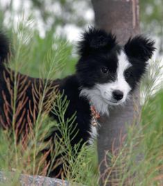 Border Collie Black and White Puppy 06.17.2011 #BorderCollie