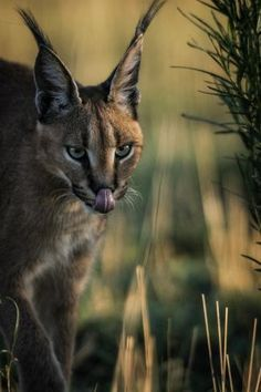 size: Photographic Print: A caracal, Caracal caracal, walking in the green grasses of Etosha National Park. by Chris Schmid : Caracal, Artwork Pictures, Panel Wall Art, Green Grass, Big Cats, Find Art, Framed Artwork, Grasses, National Parks