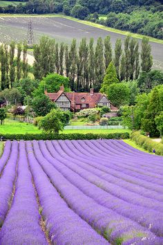 Lavender Fields, Castle Farm, Shoreham, Kent, England by John A. King
