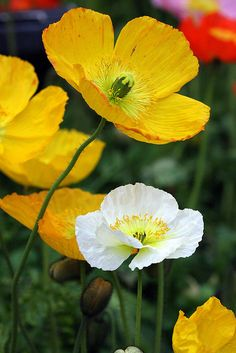Iceland Poppies | by Symbiosis