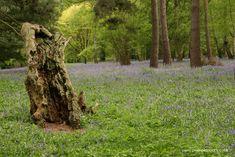 Bluebells at Winkworth Arboretum in Godalming