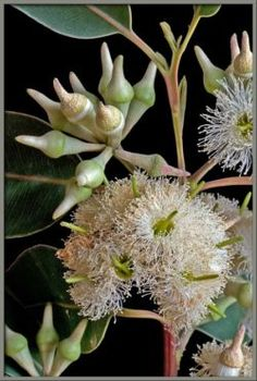 50pcs Perennes Semillas con Flor Gigante Semilla Ornamental para Patio Jard/ín Parque Semillas de Flores Zinnia Gigante