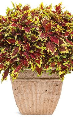"""ColorBlaze Apple Brandy will reach 20-30"""" in height, and will grow in either sun OR shade! NEW this spring, it is beautiful on its own or as a thriller in a mixed container."""